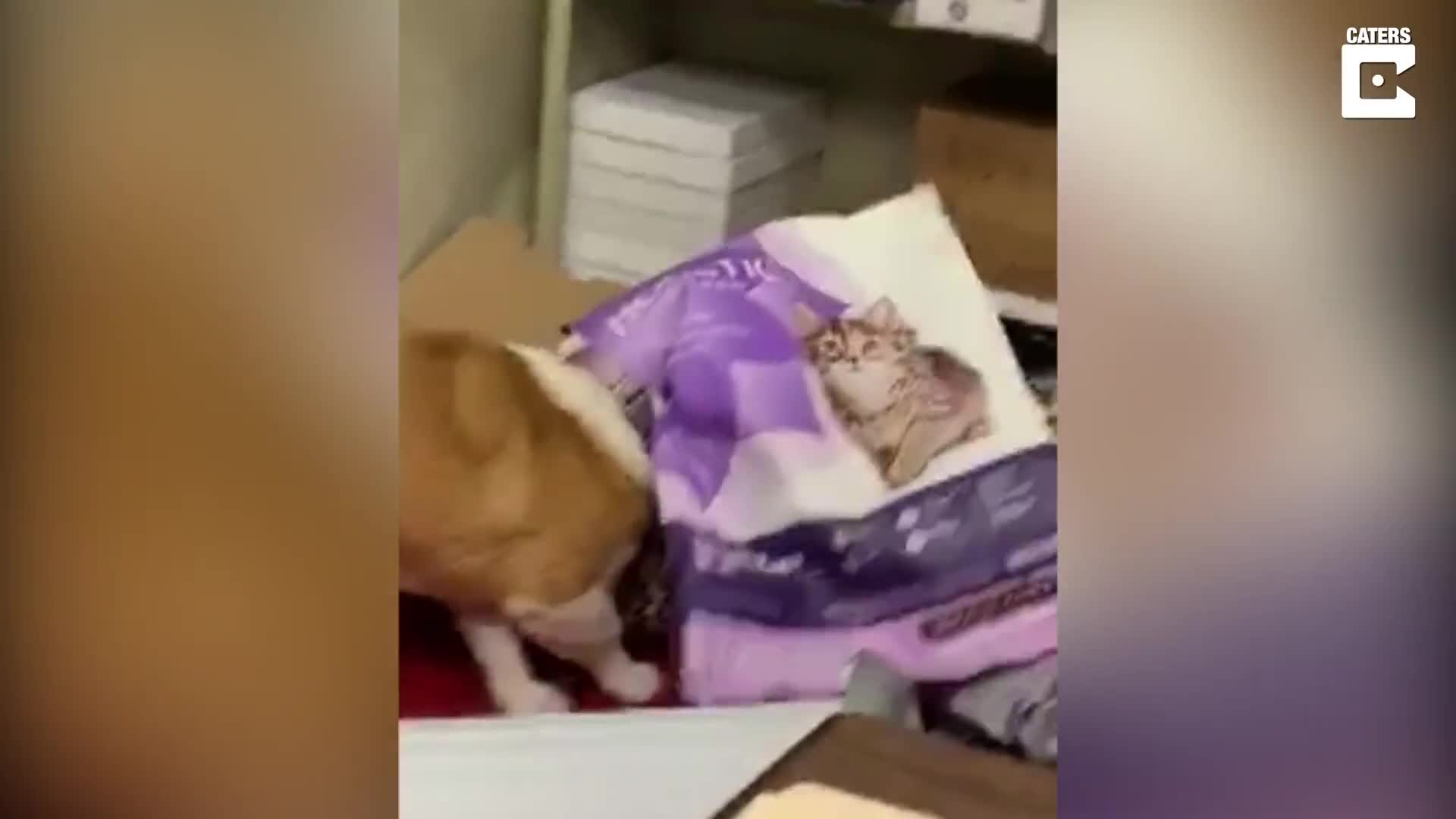 THE DOG IS IN THE BAG! CURIOUS CORGI GETS HEAD STUCK IN A BAG WHILST TRYING TO FIND FOOD