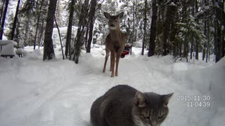 Suspicious cat hesitant to meet friendly deer - Video
