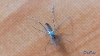 Close up view of a beautiful blue color mosquito - 8th upload attempt
