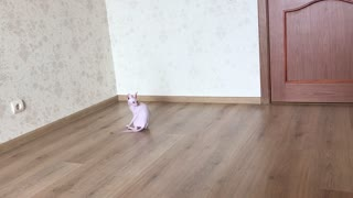 This Parkour Sphynx Cat Is So Energetic  - Video