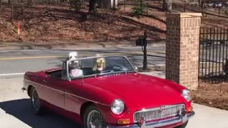 White dog riding in passenger seat of red car - Video