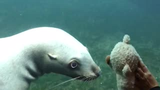 Sea Lion Mesmerized By Kid's Teddy Bear