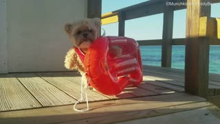 Munchkin the Teddy Bear auditions for Baywatch - Video