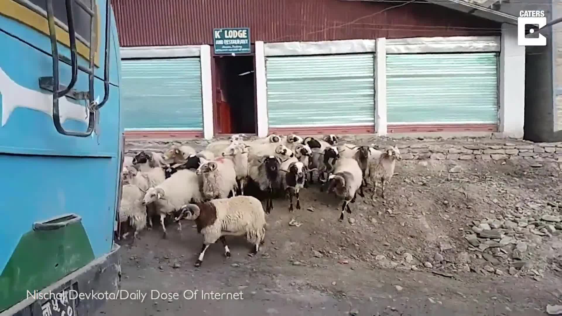 TRAFFIC RAM! HERD OF SHEEP CONTINUALLY RUN IN A CIRCLE AROUND A CAR