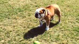 Bulldog ignores green ball - Video
