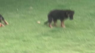 German sheffield cute puppies playing  - Video