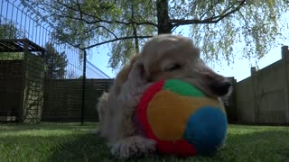 Cocker Spaniel shows off his cool ball skills - Video
