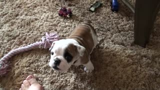 Baby Bulldog Throws An Adorable Temper Tantrum - Video