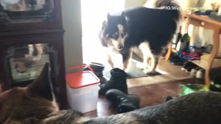 Husky german shepard howling competition