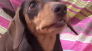 """Chatty"" miniature dachshund makes hysterical mouth movements"