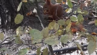 Cute hungry squirrel