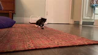 Kitten hilariously tried to destroy terrifying feather