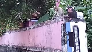 Monkey and cat fighting