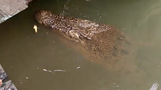 Friendly Crocodile Wants Fish - Video