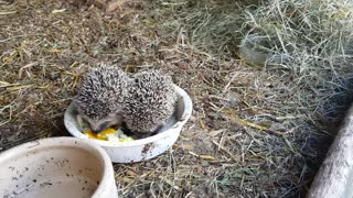 Half-Starved Abandoned Baby Hedgehogs Get Second Chance at Life