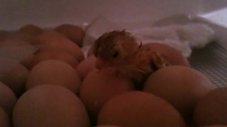 Baby chicks hatching!