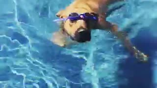 Big brown dog pool blue googles - Video