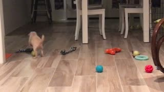 Puppy playing with ball  - Video