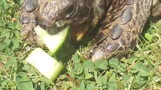 Toffee Eats More Cucumber! - Video