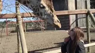 Video of man and woman feeding giraffe with their mouths