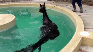 Horse Swimming training in the swimming pool which specially made for Horse