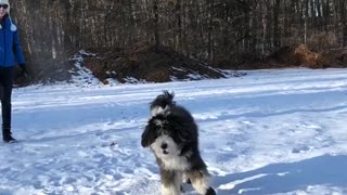 Fluffy black dog jumps high to catch a snowball