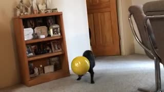 Black dog walking around living room carrying yellow bowl - Video