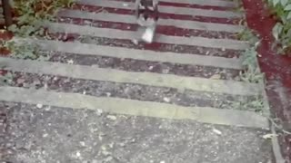 Grey dog trotting up stairs - Video