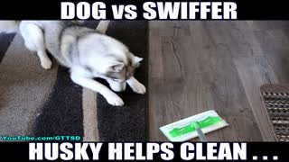 Husky hates when owner cleans home - Video