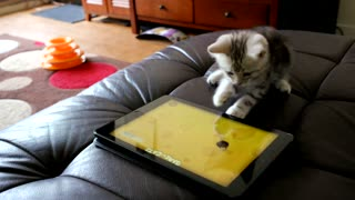 Cute kitten enjoys playing with iPad