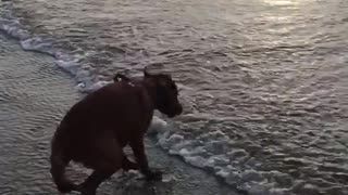 Puppy on beach scared of waves on sunset beach