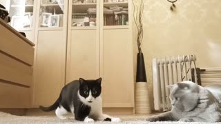 Very Cute Cats playing