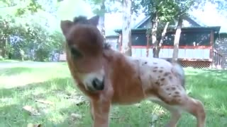 World's smallest colt to become a tiny therapy horse - Video