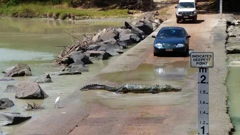 Massive Crocodile Holds Up Traffic To Cross Road