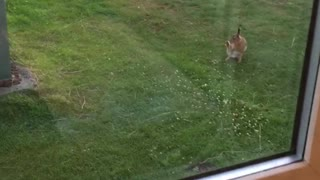 Having a bad hare day  - Video