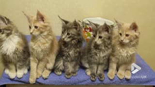 Maine Coon Kittens Rocking