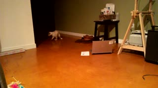 Luna the kitty plays fetch - Video