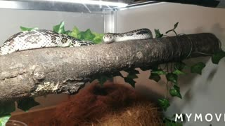 Northern Pine Snakes