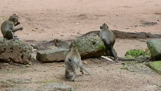 Monkey Steal Fruit Of Tourist For Eat