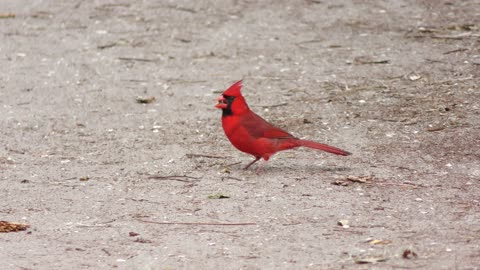 male Northern Cardinal feeds on seeds on the ground