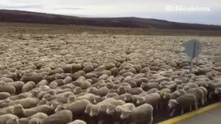 A bunch of sheep running together