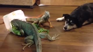 Iguanas literally don't care at all about dog