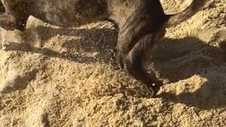 Black dog digging and playing with sand - Video