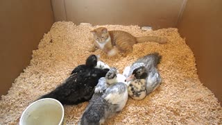 Funny kitten plays with ducklings - Video