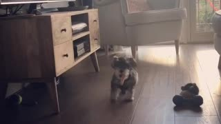 Small Dogy  Wants To Play - Video