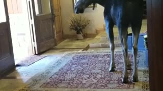 Moose Invades House - Video