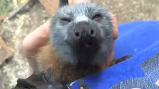 Young Rescued Bat Squeaks While Being Tickled - Video