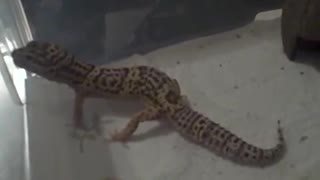 gecko Dinner time theme music  - Video