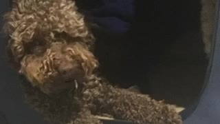 Funny Voice for a Dog