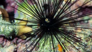 Long Spined Sea Urchin Spotted at Night